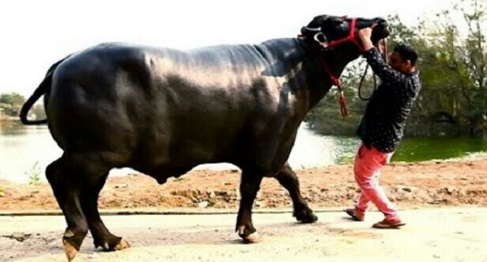 know-how-the-20-crore-rupees-buffalo-become-the-attraction-in-fair