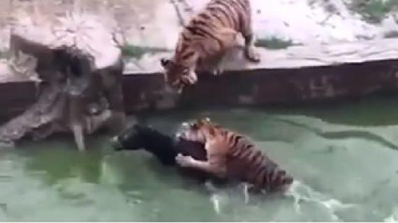वीडियो: भूखे बाघों के सामने फेंका जिंदा गधा