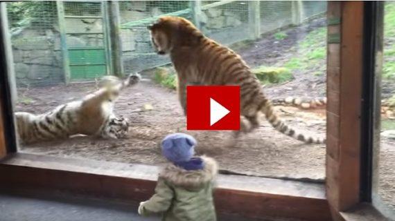 वायरल वीडियो: देखिए बाघिन को जगाने पर बाघ को कैसे भुगतना पड़ा अंजाम