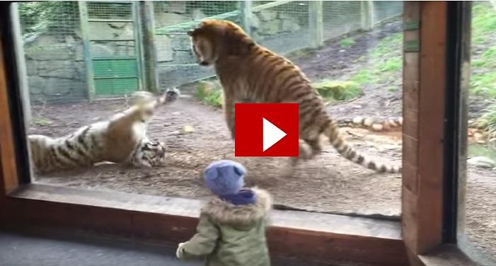 vedio, viral, tiger, animals, internet, Dublin zoo, Child