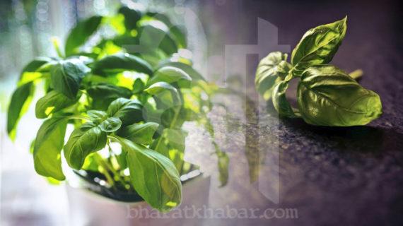 पूजा के साथ औषधीय गुणों से भरपूर है तुलसी का पौधा